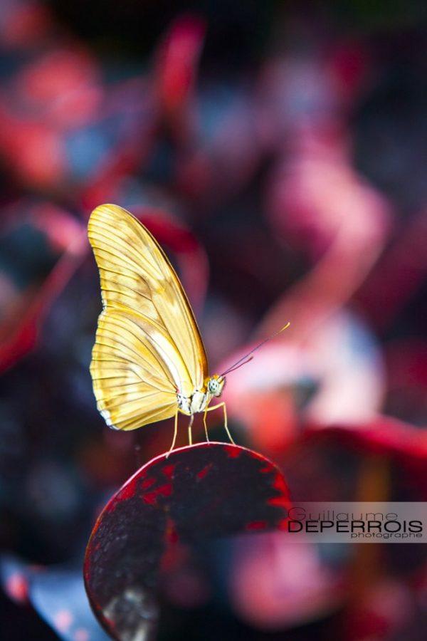Butterfly tirage d'art