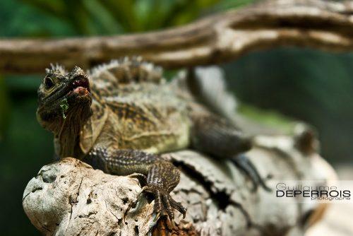 L'iguane tirage d'art