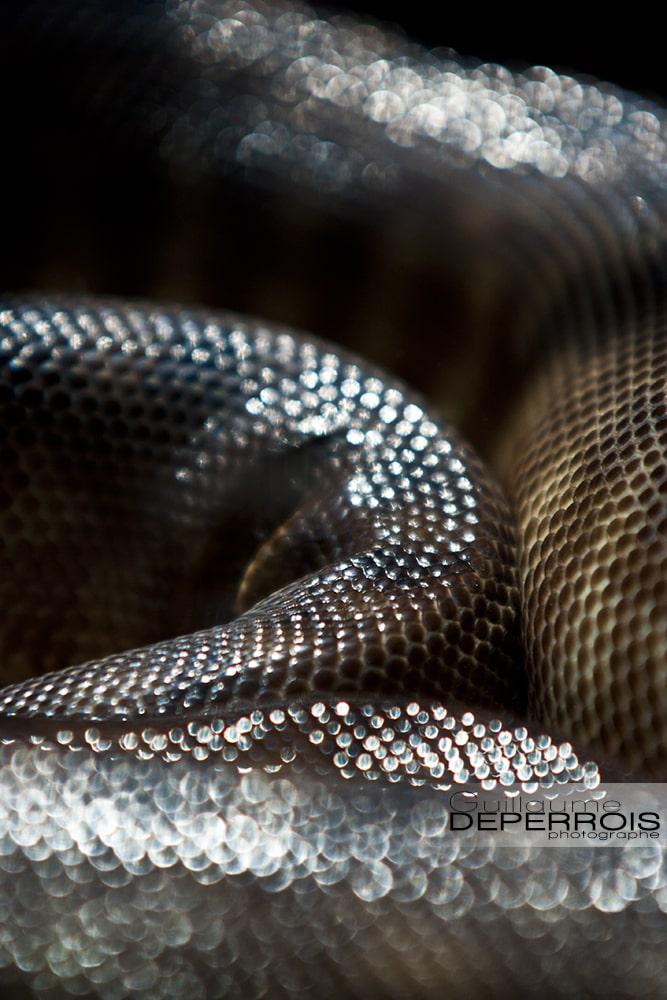Snake skin tirage d'art